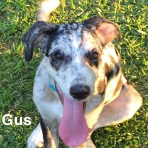 Easily adopt Gus at Animal Aid and Rescue Foundation and be a part of the pet adoption, animal rescue and welfare movement.