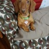 Easily adopt Chopper in TN at All American Dachshund Rescue and be a part of the pet adoption, animal rescue and welfare movement.