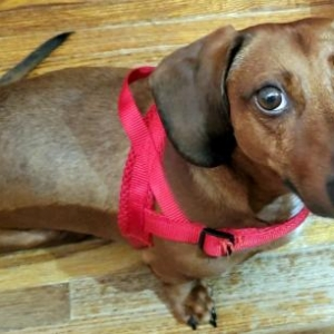 Easily adopt Oscar in TN at All American Dachshund Rescue and be a part of the pet adoption, animal rescue and welfare movement.