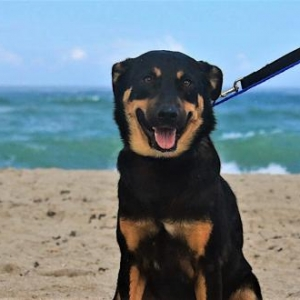 Easily adopt Tommy Bahama Potcake at Good Karma Pet Rescue and be a part of the pet adoption, animal rescue and welfare movement.