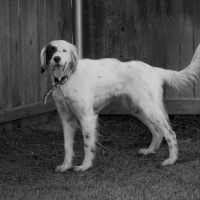Easily adopt Finley at Southwest English Setter Rescue and be a part of the pet adoption, animal rescue and welfare movement.