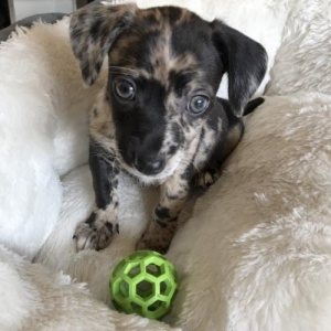 Easily adopt Bogie at Wags and Whiskers Pet Rescue and be a part of the pet adoption, animal rescue and welfare movement.