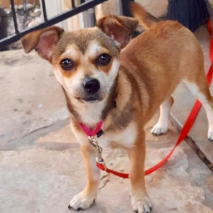 Easily adopt Mini at Northstar Pet Rescue and be a part of the pet adoption, animal rescue and welfare movement.