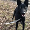 Easily adopt Ivy 0773 at Shenandoah Shepherd Rescue Inc and be a part of the pet adoption, animal rescue and welfare movement.