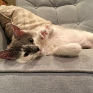 Easily adopt Maisie Gray at Kitten Rescue and be a part of the pet adoption, animal rescue and welfare movement.