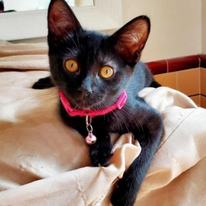 Easily adopt Maybelline at Kitten Rescue and be a part of the pet adoption, animal rescue and welfare movement.