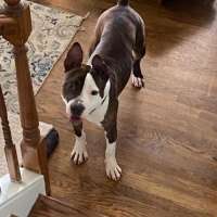 """Easily adopt Sergeant Bumbleton """"Sarge"""" at Adopt A Pit Rescue Inc and be a part of the pet adoption, animal rescue and welfare movement."""