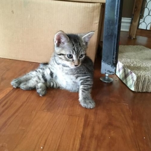 Easily adopt Cleopatra's Racer kitten at Eleventh Hour Rescue and be a part of the pet adoption, animal rescue and welfare movement.