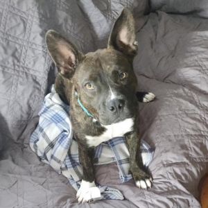 Easily adopt Dixie at Midwest Dog Rescue Network and be a part of the pet adoption, animal rescue and welfare movement.